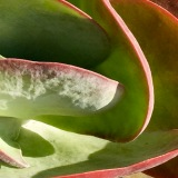 image of pink, coral, and green succulent resembling the interior of a shell fish